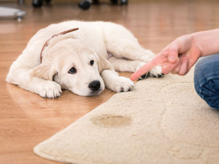 How Pet Urine Affects Your Carpet | Venice, CA